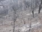 Alcornocal con brezos quemado