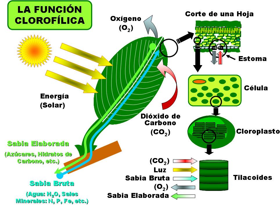 estructura vegetal de las plantas: