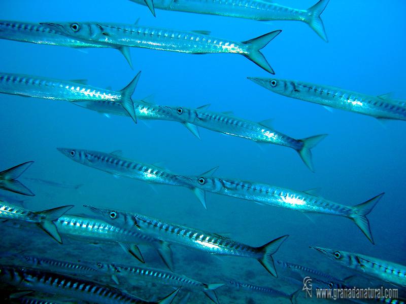 Sphyraena sphyraena - Espet�n - Barracuda