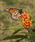 Danaus plexippus 1 Mariposas Granada Natural