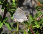 Favonius quercus 1