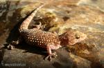 Hemidactylus turcicus - Salamanquesa rosada