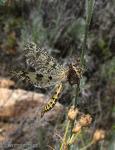 Palpares libelluloides 1