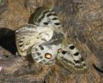 Parnassius apollo ssp nevadensis 2