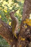 Picus viridis - Pito real