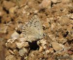 Polyommatus albicans 3