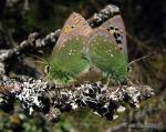 Tomares ballus 1 Mariposas Granada Natural