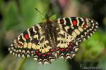Zerynthia rumina 1 Mariposas Granada Natural