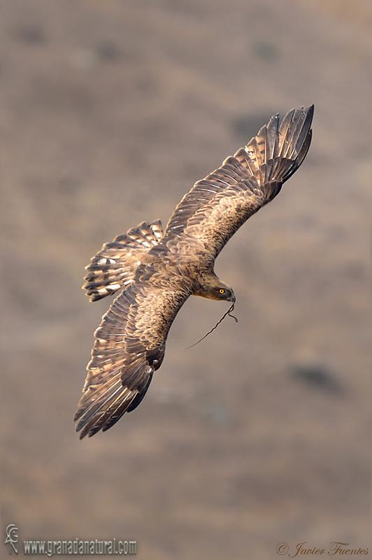 Circaetus gallicus - Águila culebrera europea