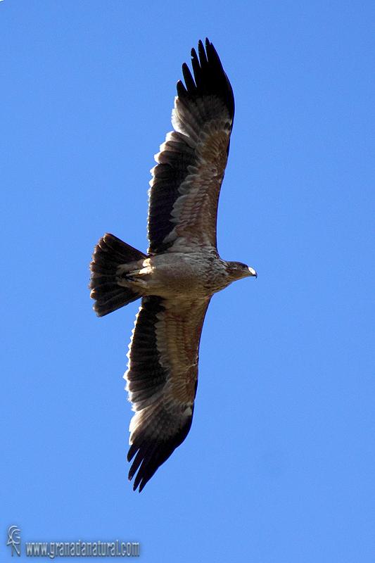 Aquila adalberti - �guila imperial ib�rica
