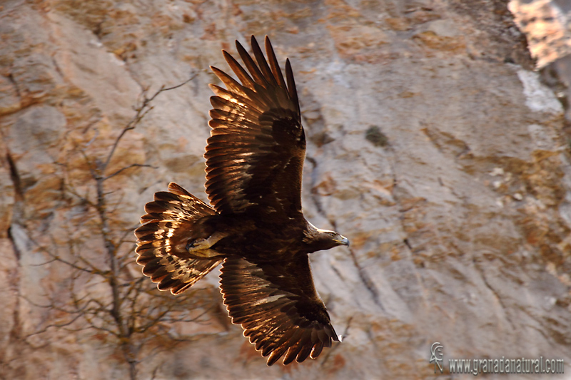 Aquila chrysaetos - �guila real