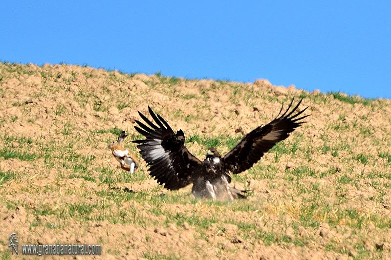 Aquila chrysaetos - Águila real
