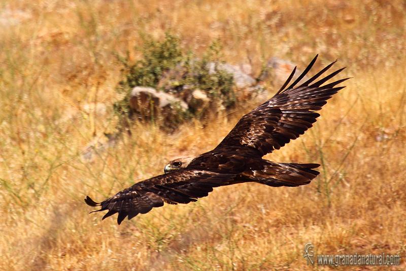 Aquila chrysaetos - �guila real