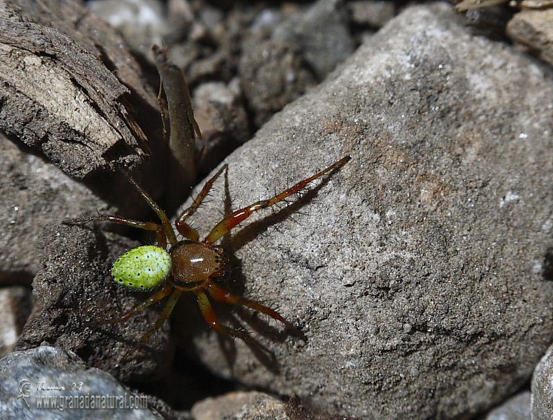 Araniella cucurbitina 1 Araña Granada Natural