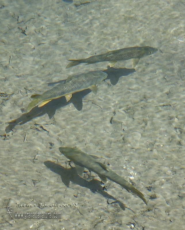Barbus sclateri - Barbo gitano