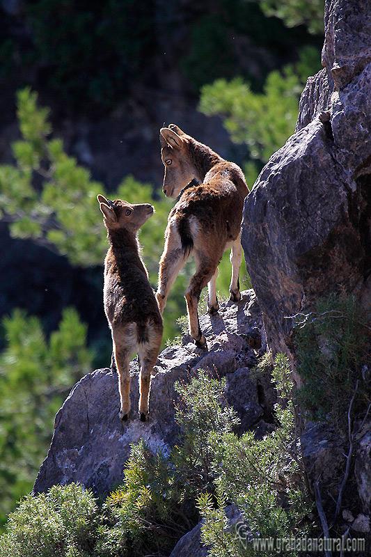 Capra pyrenaica - Cabra mont�s