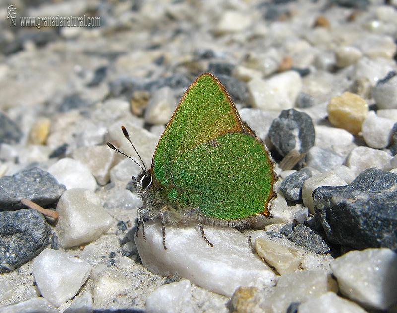 Callophrys rubi 1 Mariposas Granada Natural