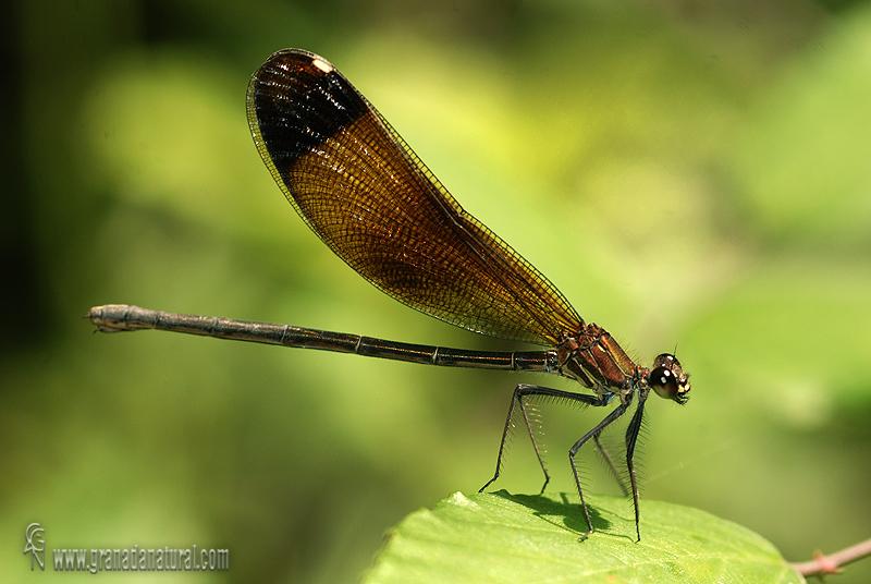 Calopteryx haemorrhoidalis 1 Libelulas Granada Natural
