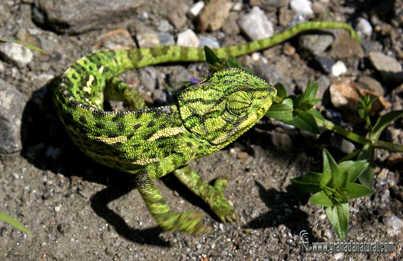 Chamaeleo chamaeleon - Camaleón común