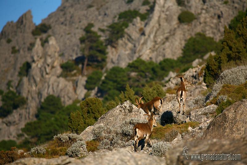 Capra pyrenaica ssp hispanica - Cabra mont�s