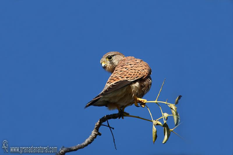 Falco tinnunculus - Cern�calo vulgar