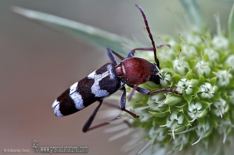 Chlorophorus trifasciatus 1
