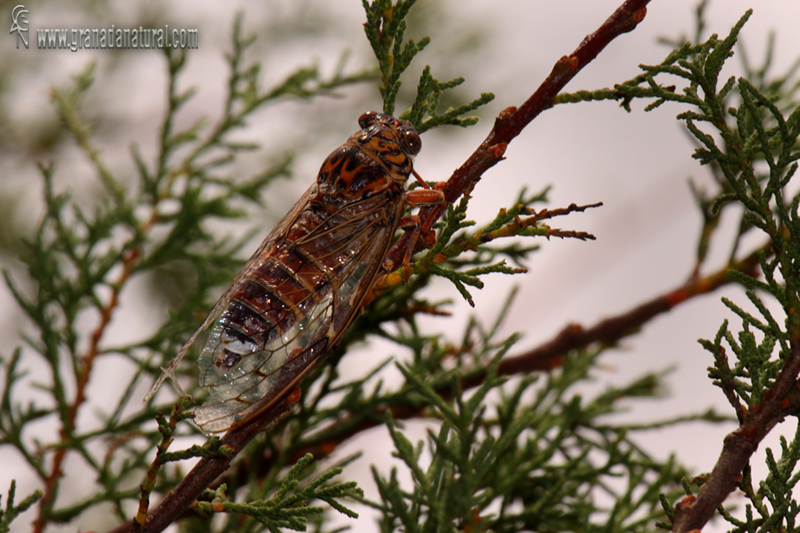 Cicada orni 1 Cigarra Granada Natural