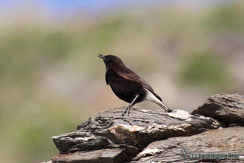 Oenanthe leucura - Collalba negra