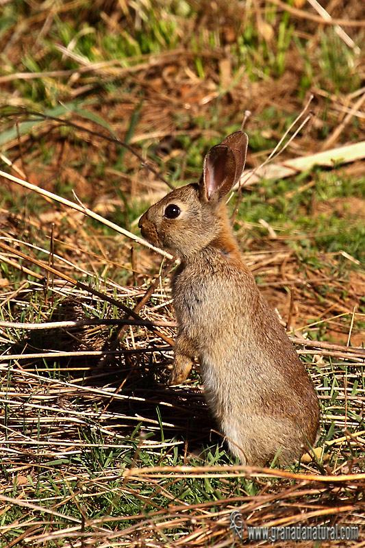 Oryctolagus cuniculus - Conejo