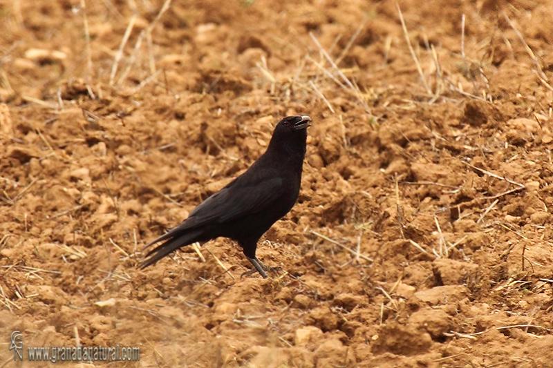 Corvus corone - Corneja negra