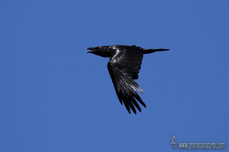 Corvus corax - Cuervo