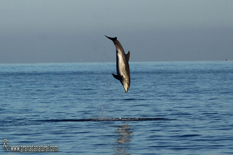 Tursiops truncatus - Delfín mular