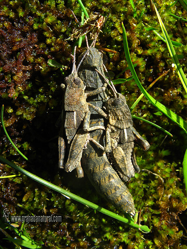 Eumigus rubioi 1 Saltamontes Granada Natural