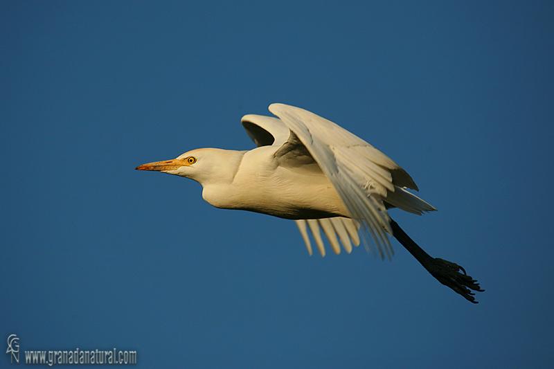 Bubulcus ibis - Garcilla bueyera