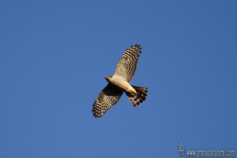 Accipiter nisus - Gavil�n com�n