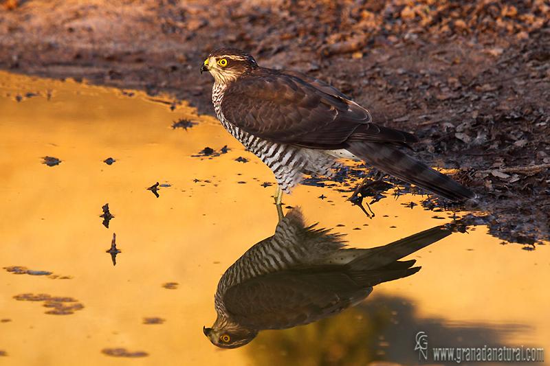 Accipiter nisus - Gavil�n com�n (Hembra)