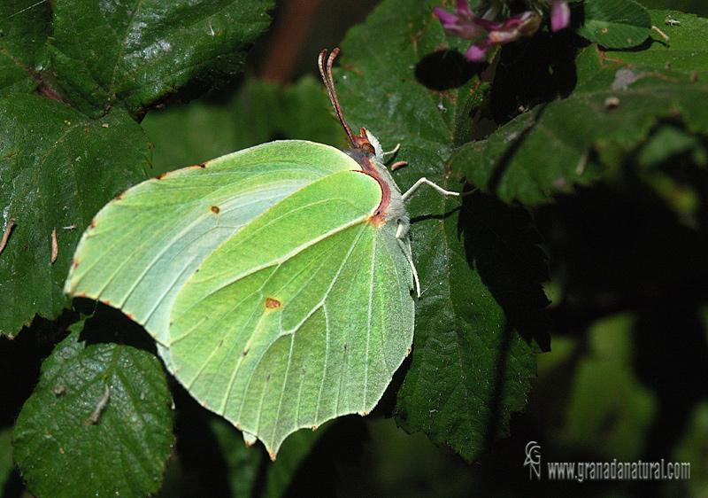 Gonepteryx rhamni 1Granada Natural