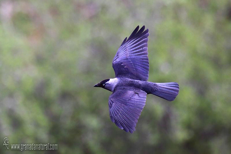 Corvus monedula - Grajilla