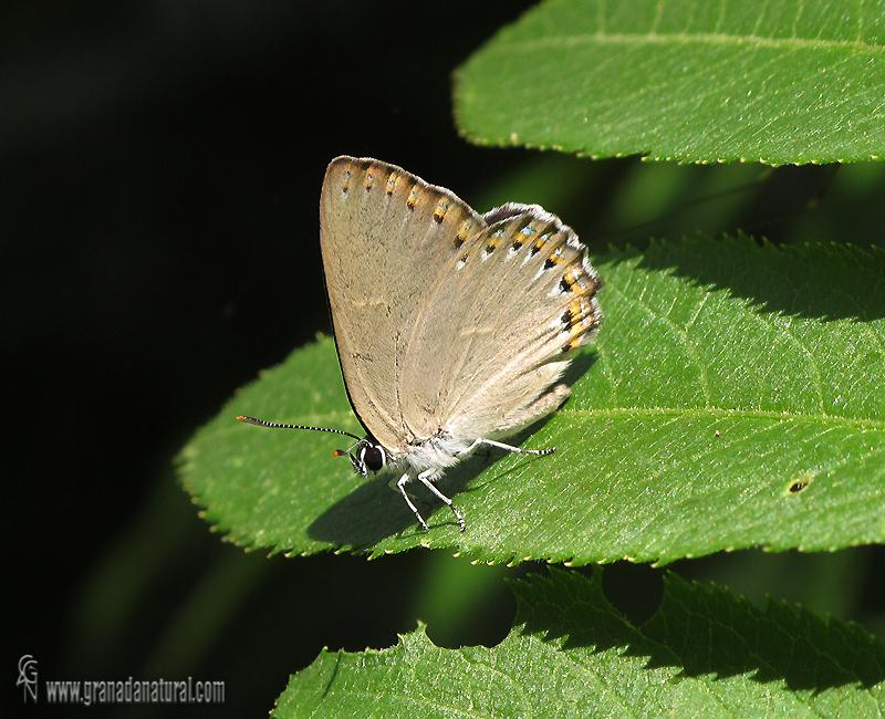 Laeosopis roboris 1