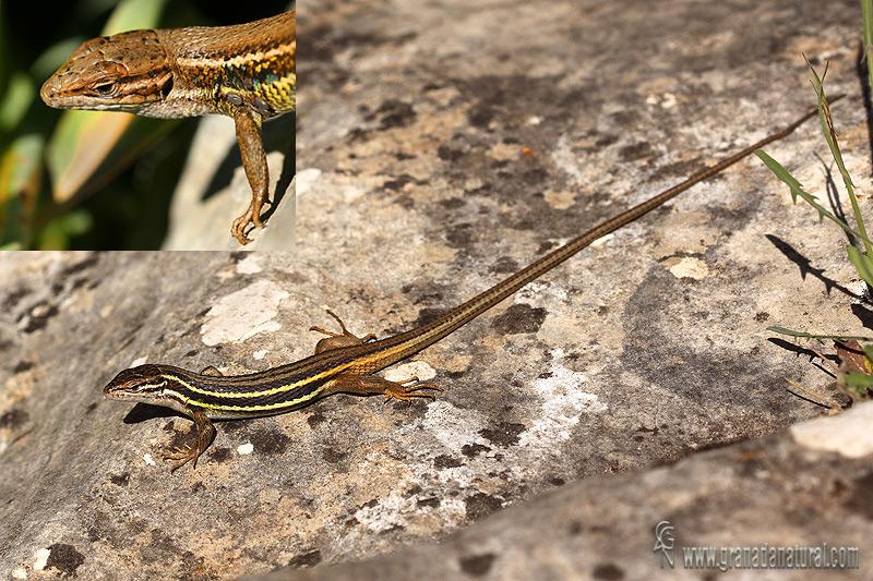 Psammodromus algirus - Lagartija colilarga