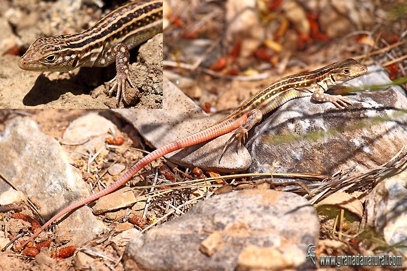 Acanthodactylus erythrurus - Lagartija colirroja