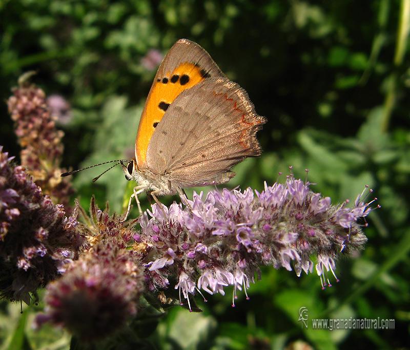 Lycaena phlaeas 1 Mariposas Granada Natural