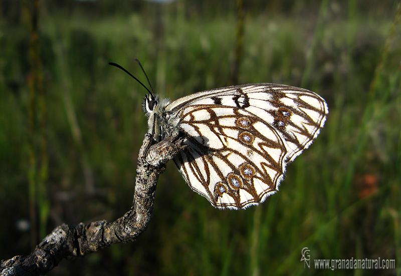 Melanargia occitanica 1 Mariposas Granada Natural