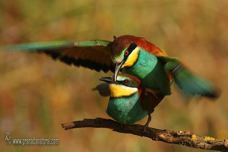 Merops apiaster - Abejaruco europeo