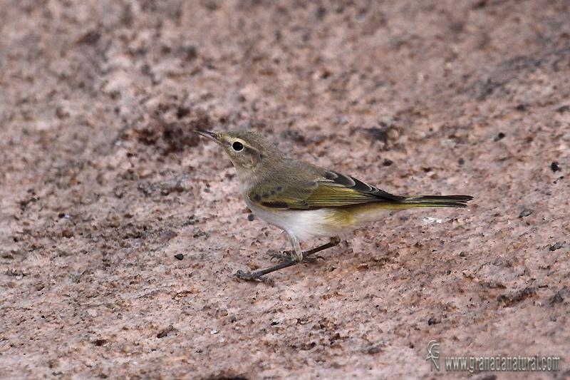 Phylloscopus bonelli - Mosquitero papialbo