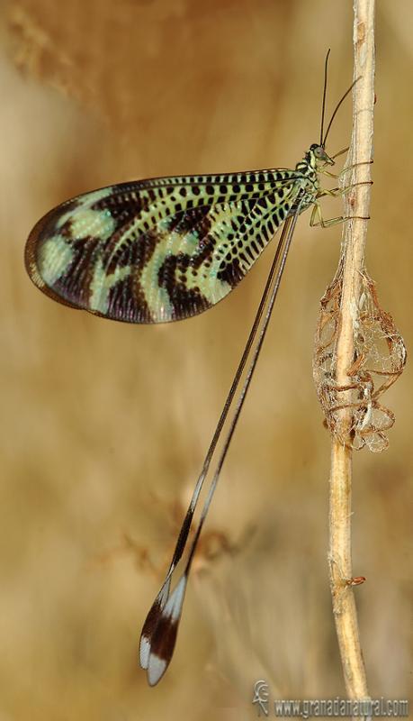 Nemoptera bipennis 1 Neuropteros Granada Natural