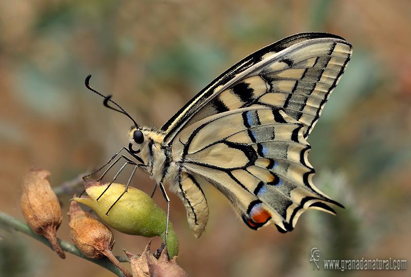 Papilio machaon 4