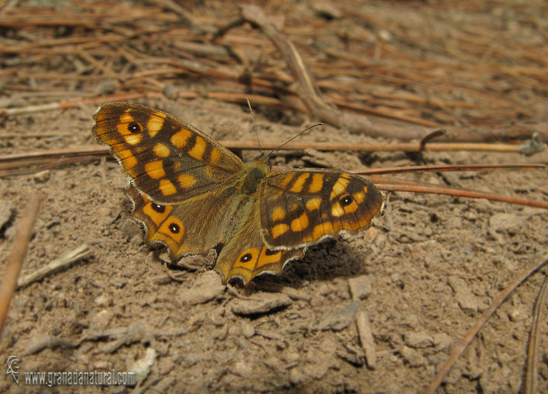 Pararge aegeria 1 Mariposas Granada Natural