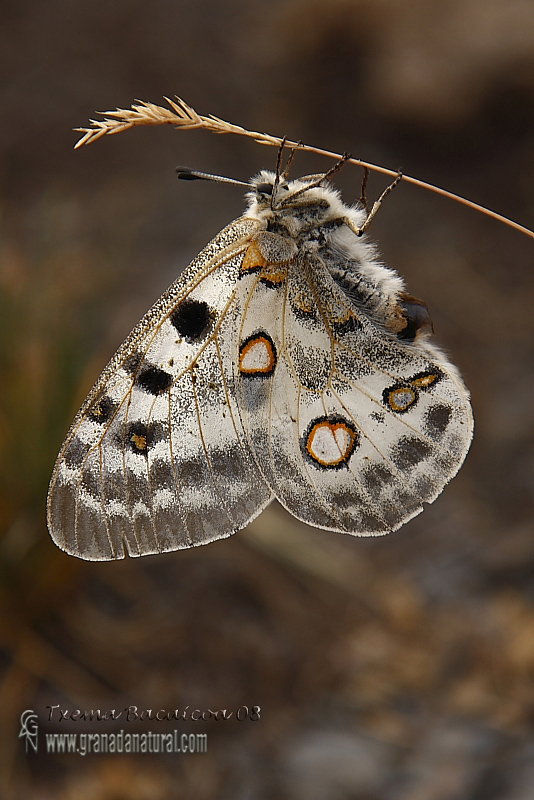 Parnassius apollo ssp nevadensis 1