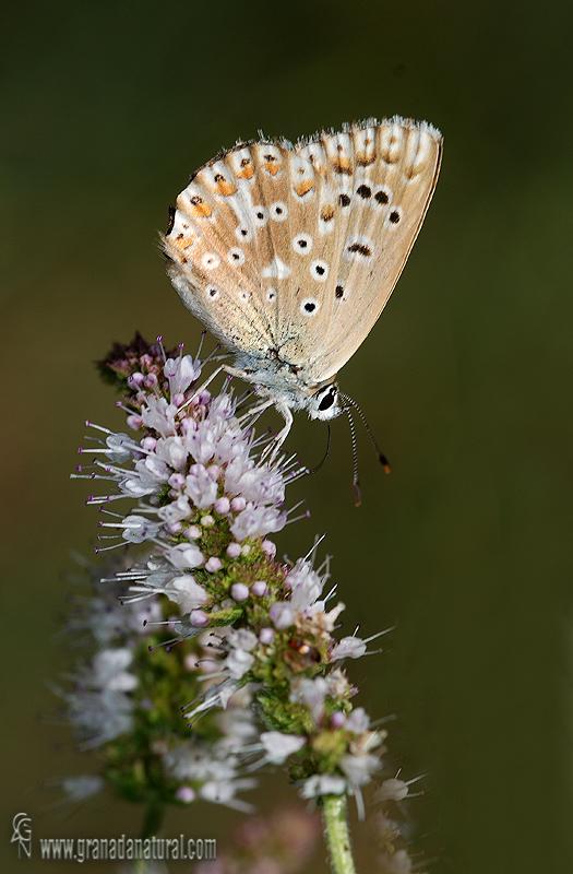 Polyommatus albicans 1 Mariposas Granada Natural